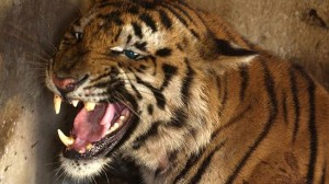 Tigers killed as entertainment for rich businessmen in China