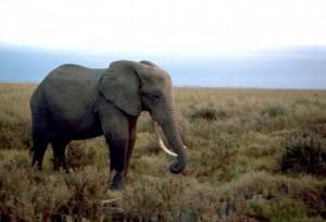 Male elephant dies of overwork in Dak Lak